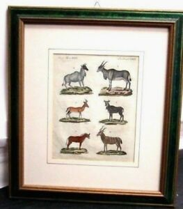 Mammals-Antelope-Etching-Original-of-039-700-Animal-Science-Zoology