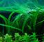 thumbnail 2 - x3 Cryptocoryne Balansae Bunch Crypt Spiralis Freshwater Live Aquarium Plants