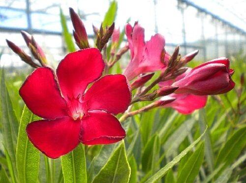 OFFERTA 4 piante Oleandro h 30//60 cm vaso 18 Nerium Oleander