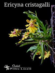 Psygmorchis-cristagalli-Orchidee-Bluehstark