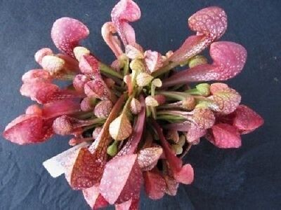 10 PARROT PITCHER PLANT Sarracenia Psittacina CARNIVOROUS Flower Seeds *Comb S/H