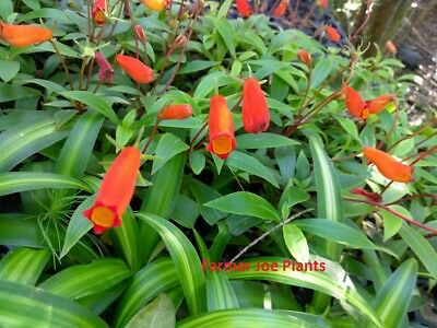 BOLIVIAN SUNSET Tropical Plant Gloxinia Sylvatica Orange Red Flower Shade Garden