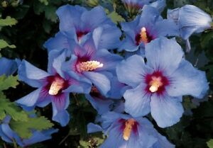 Hibiscus Oiseau Bleu Agm Bluebird Beautiful Chiffon Blooms Hardy