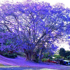 Palisanderholzbaum  Palisanderholzbaum Jacaranda mimosifolia 50 Samen | eBay