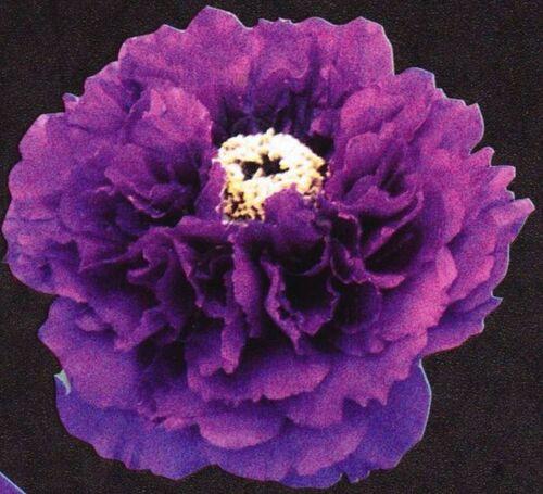 PIVOINE ARBUSTIVE  Reine des violettes