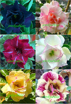 "Beautiful Adenium Obesum Desert Rose /""Mixed/"" 6 Plants 6 Types! NEW"