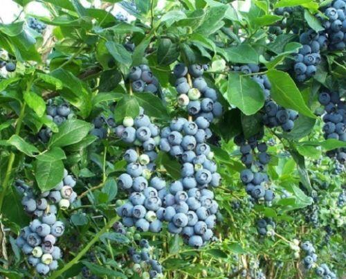10 x Heidelbeeren anspruchslose Pflanzen Obststräucher für Blumentopf Kübel Deko