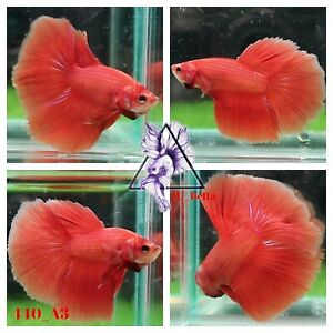 [440_A3]Live Betta Fish High Quality Male Fancy Over Halfmoon 📸Video Included📸