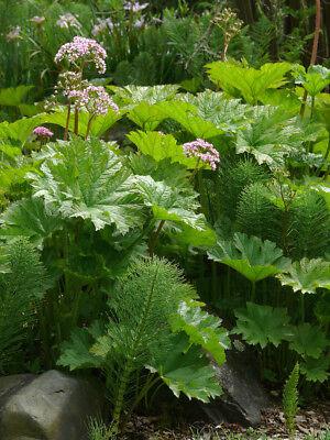 Peltiphyllum peltatum UMBRELLA PLANT Seeds!