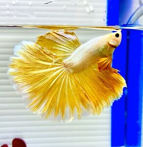 US SELLER (A-Grade) Male Yellow Dragon Halfmoon Betta imported from Thailand