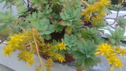 SEDUM PALMIERI red flush x2 Plante succulente //Vivace Extérieur