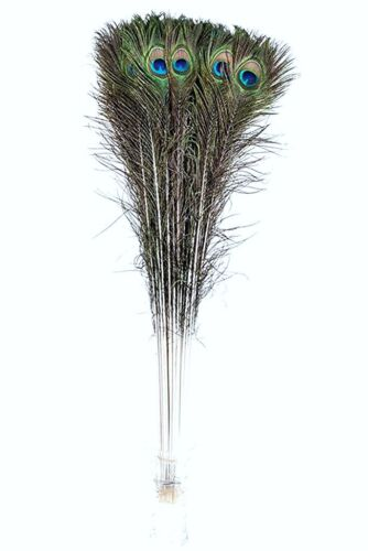"""500 Pcs PEACOCK TAILS Natural Feathers 45-50/"""" Craft//Art//Bridal//Costume//Halloween"""