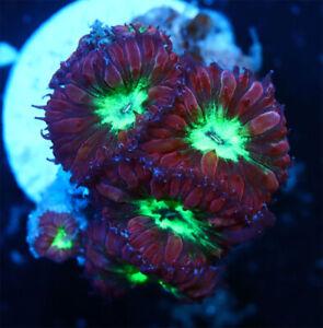 Raspberry Pie Blastomussa Merletti Live Coral  WYSIWYG Quarter Size