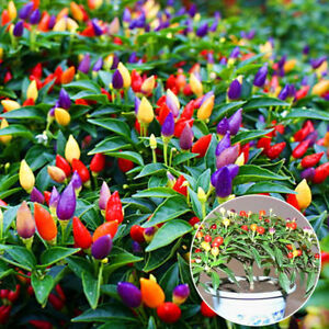 50pcs-Bunter-Rainbow-Chilli-Paprika-Samen-Saatgut-Organische-Paprika-Samen
