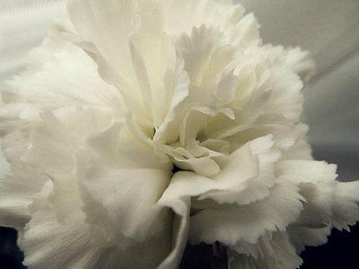 FLOWER CARNATION WHITE 350 FINEST SEEDS
