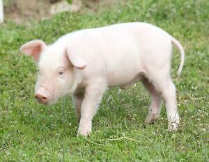 Details About Metal Magnet Yorkshire Piglet English Large White Pig Hog Hogs Pigs Magnet