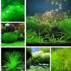 1000X Aquarium Fish Tank Pond Mixed Grass Seeds Water Moss-Live Aquatic Plant Z
