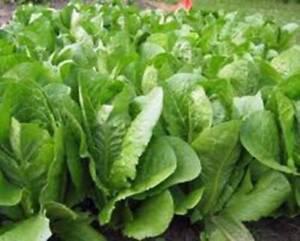 ROMAINE LETTUCE SEED 50 SEEDS, PARIS ISLAND ORGANIC NON GMO HEIRLOOM