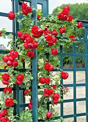 15 Florentina Climber Rose Seeds Rosa Florentinia Ebay