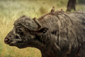 African-Buffalo-in-the-Wild-Photo-Art-Print-Poster-18x12-inch