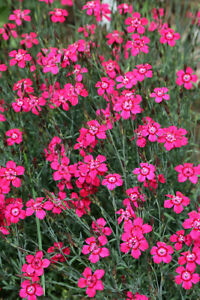 Maiden Pink Seeds Great Border Perennial Tiny Pink Flowers 25