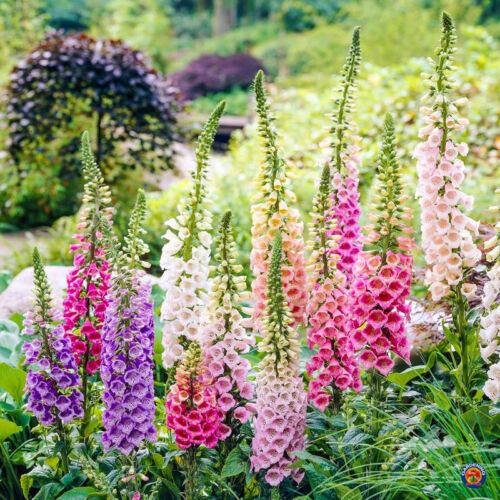 1000 SEEDS FOXGLOVE Flower Seeds Digitalis Purpurea Lady/'s Glove Mixed colors