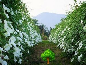 Uncle chan 15 seed big white moonflower ipomea alba edible fragrant image is loading uncle chan 15 seed big white moonflower ipomea mightylinksfo