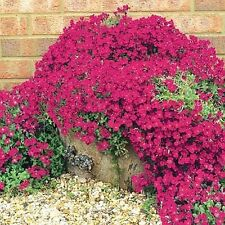 100 Creeping Thyme Seeds G25, G46~G48 Groundcover Seeds Garden Perennial Flowers