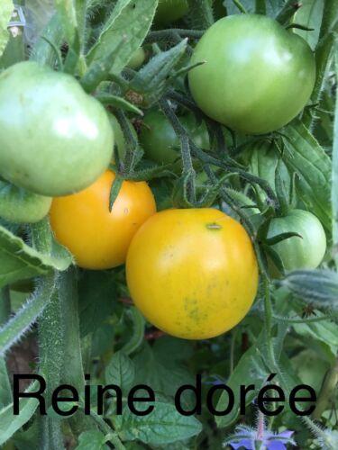 20 Graine Tomate Reine Dorée Bio//Reproductible Frais De Port Unique