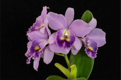 BIN-Lc. Blue Grotto 'Takagi'  Nice Blue! Large Cluster Bloomer! Must SEE!