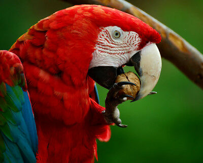 Parrot BIRD 8 x 10 8x10 GLOSSY Photo Picture IMAGE #4 Macaw
