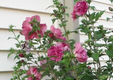 1 Red Althea tree-shrub-rose of sharon- (Hibiscus syriacus)-2 to 3 ft -$5.99 eac