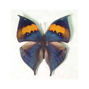 Альбом пользователя ЕкатеринаКостинская: Бабочка Калима инах. Коллекция 36 бабочек-малявок