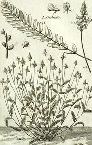 100% De Qualité Onobrychis Sainfoin Botanique Plante Geoffroy Garsault Gravure Xviiième