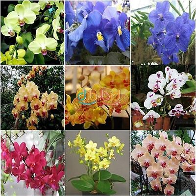 20/100P Mix Phalaenopsis Flower Seeds Bonsai Plant Butterfly Orchid Seeds So Hot