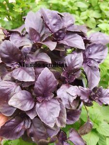 albahaca purpura excelente olor 550 semillas,seeds Otras