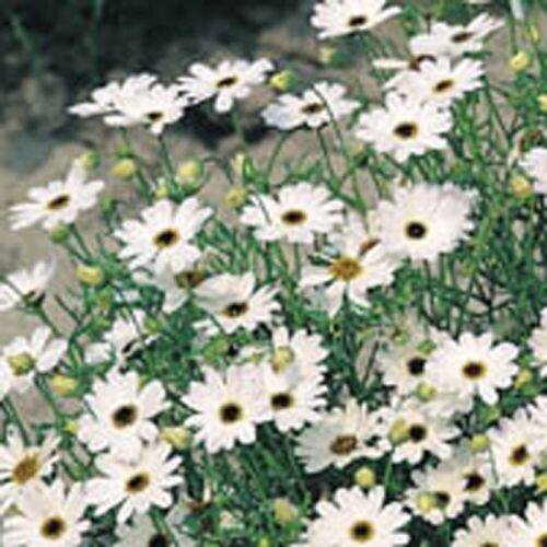 White Splendour Brachycome 500 Seeds