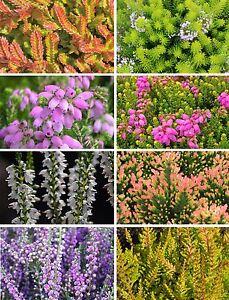 8 Plant Pack Heather Variety Upright Spring Flowering Garden Shrub