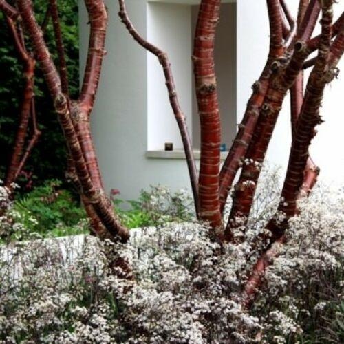 ORNAMENTAL CHERRY Prunus Serrula 5 SEEDS