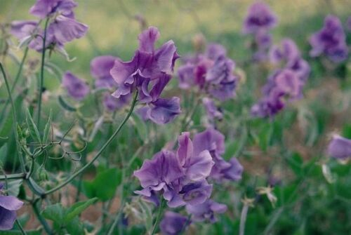 Spencer Variety 20 Seeds Sweet Pea Noel Sutton