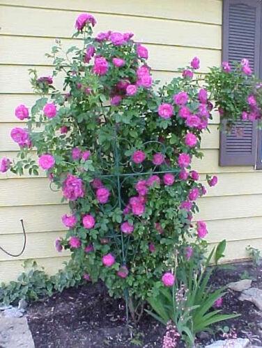 5 Violet Rosier Grimpant Rosa Buisson Vigne Grimpeur Parfumé Papillon Semences