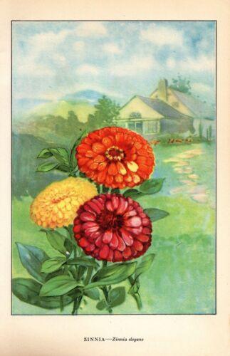 """1926 Vintage GARDEN FLOWER /""""ZINNIA/"""" GORGEOUS COLOR Art Print Lithograph"""