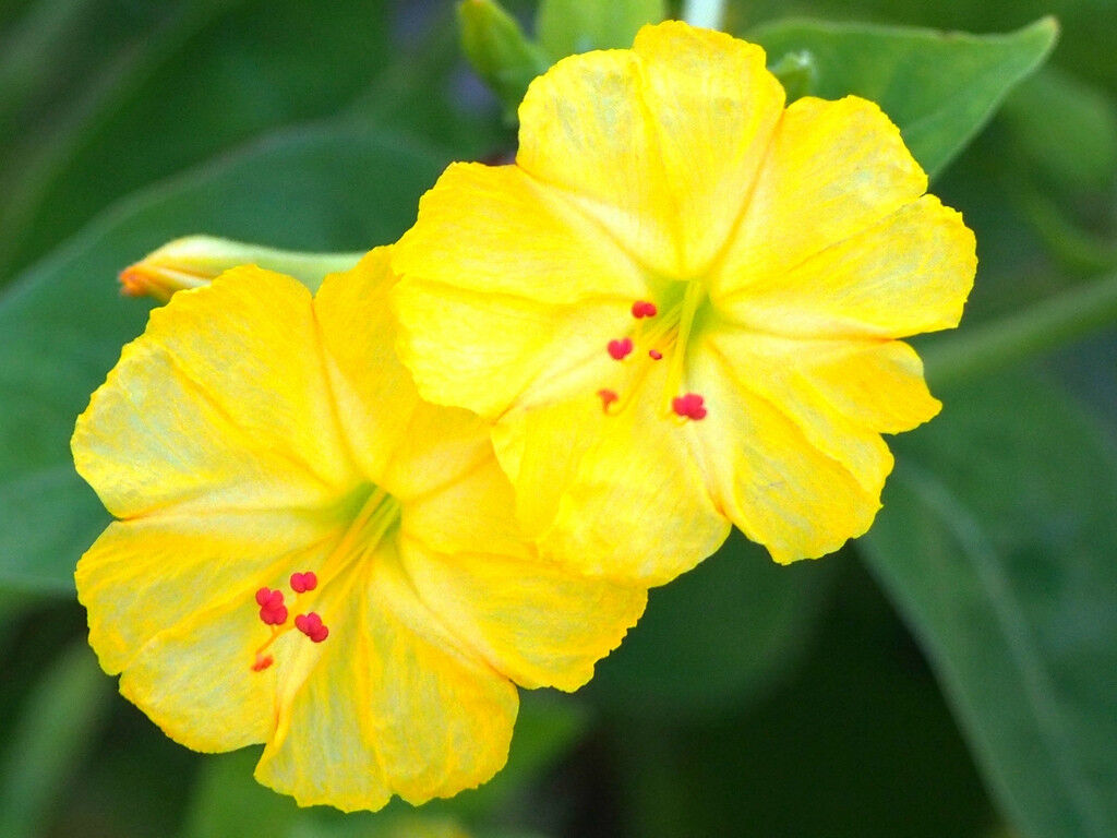Yellow Mirabilis Jalapa Four Oclock Fragrant Flowering Succulent