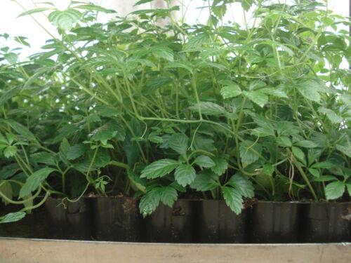 Jiaogulan Kraut der Unsterblichkeit  3 Pflanzen im 4 Cm Topf Frauenginseng Jia