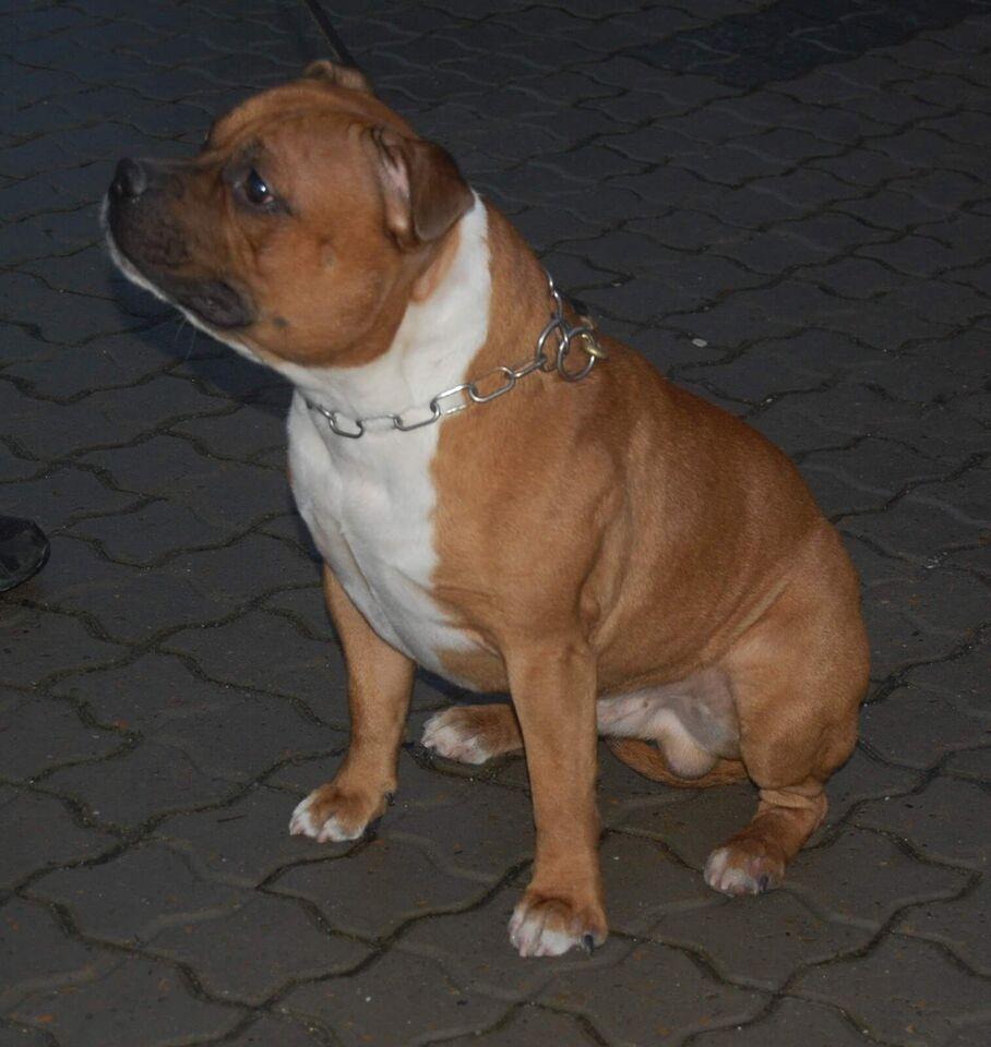 Staffordshire bull terrier tilbydes til avl. Tr...