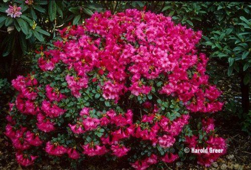 Dwarf Rhododendron Whispering Rose Carnation Rose Flower Shrub 3 PACK 9cm Pots