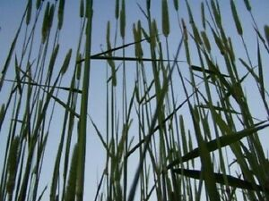 500 DERBY TIMOTHY GRASS Ornamental Phleum Pratense Seeds