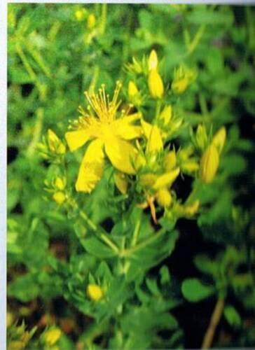Chasse diable  Millepertius  7 tiges racines,plantes médicinale jardin  ( bio )