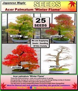 Bonsai Seeds Acer Palmatum Winter Flame 25 X Seeds Ebay