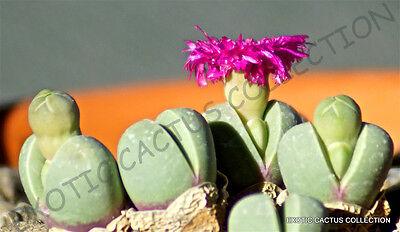 MESEMB SEED--Argyroderma pearsonii--20 Seeds